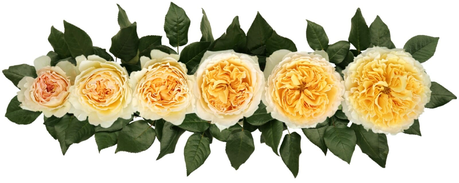 David Austin BEATRICE (AUSLEVITY) Roses Point of Cut