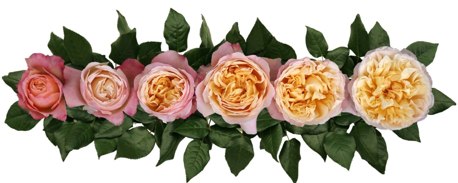 David Austin Edith Wedding Rose Point of Cut