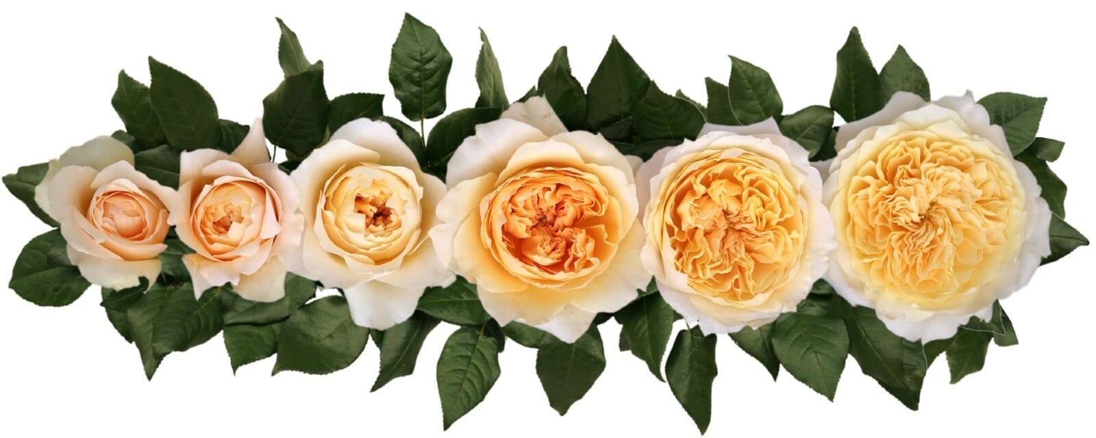 David Austin Effie Wedding Rose Point of Cut