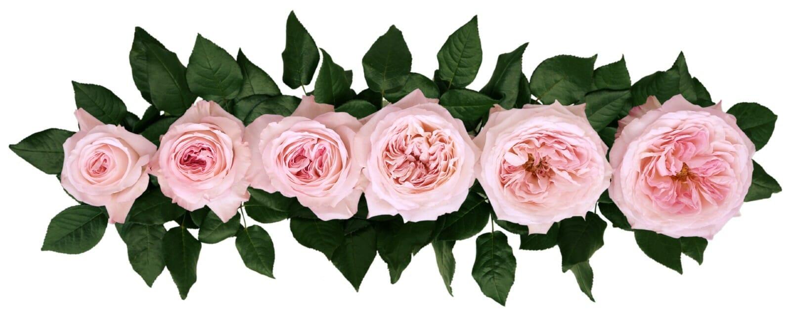 David Austin Keira Wedding Rose Point of Cut