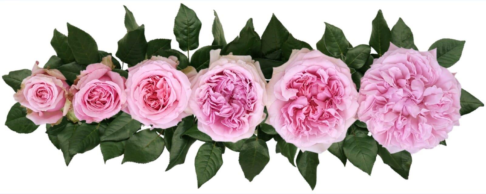 David Austin Miranda Wedding Rose Point of Cut