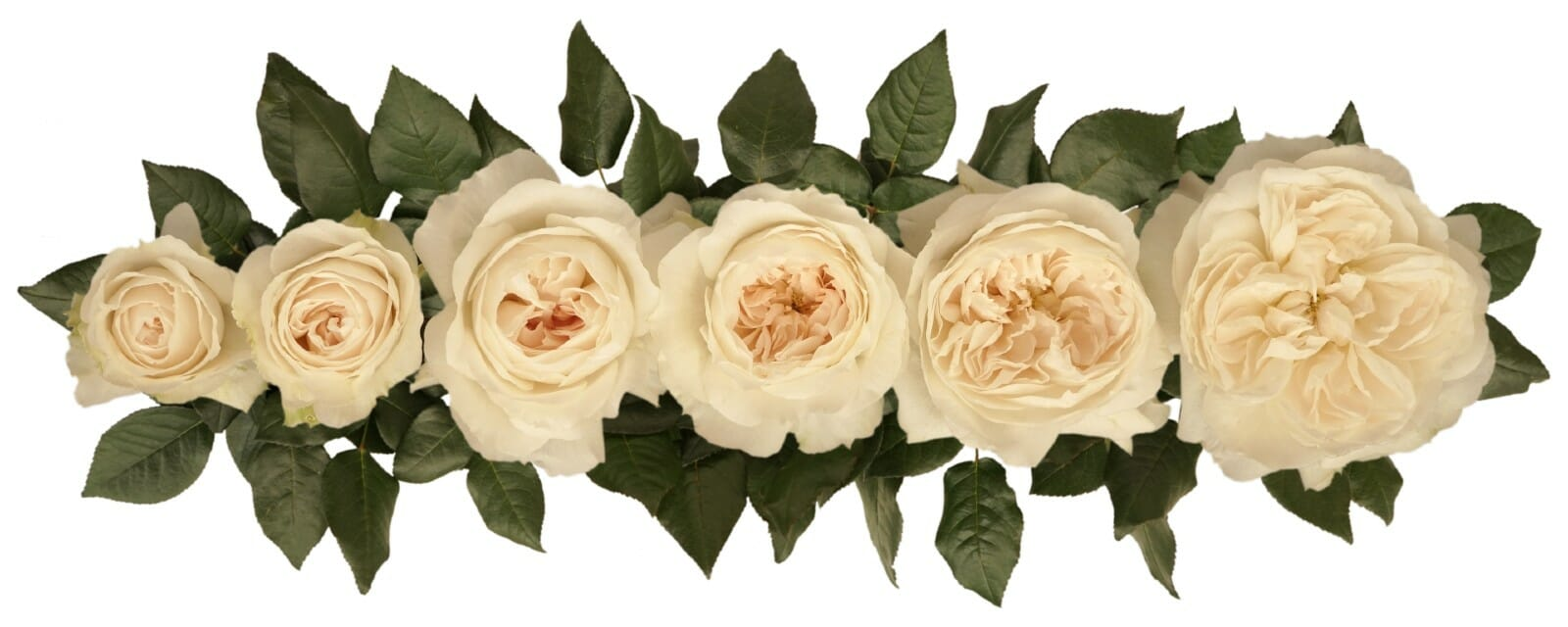 David Austin Purity Wedding Rose Point of Cut