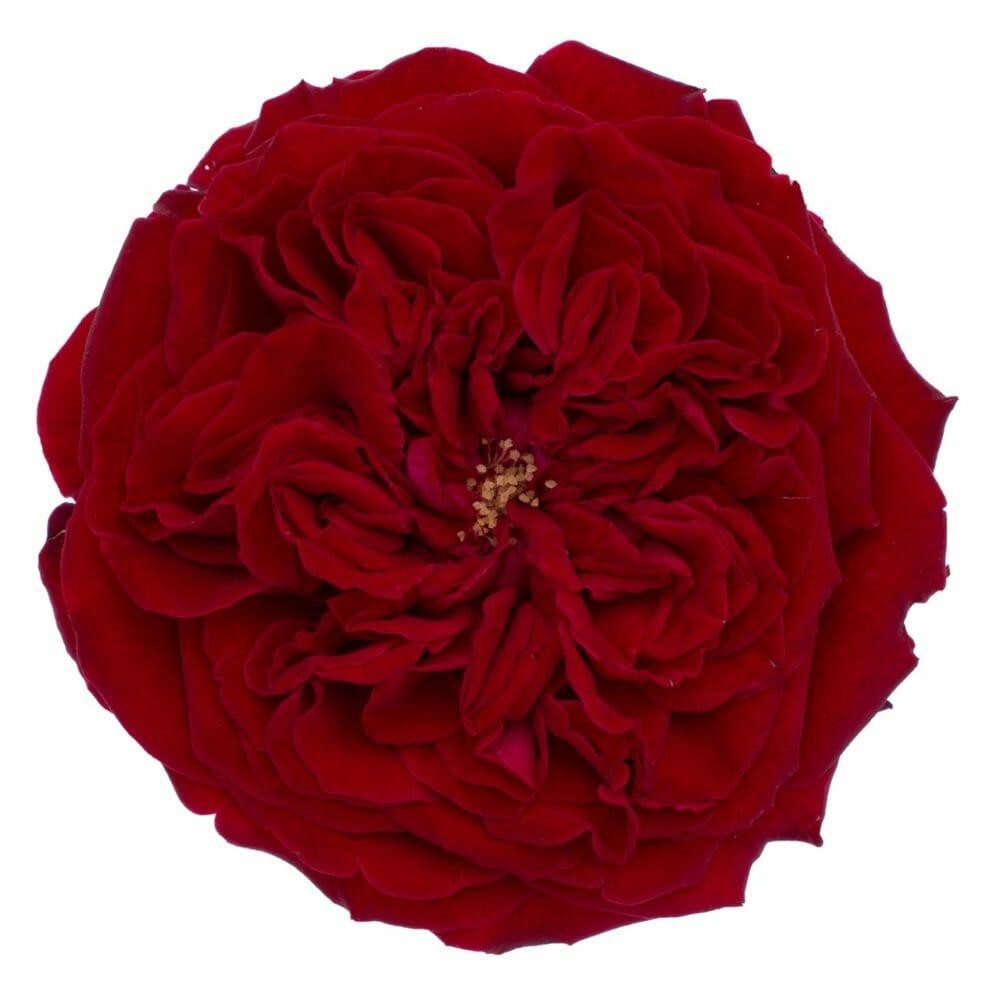 David Austin Tess Wedding Roses