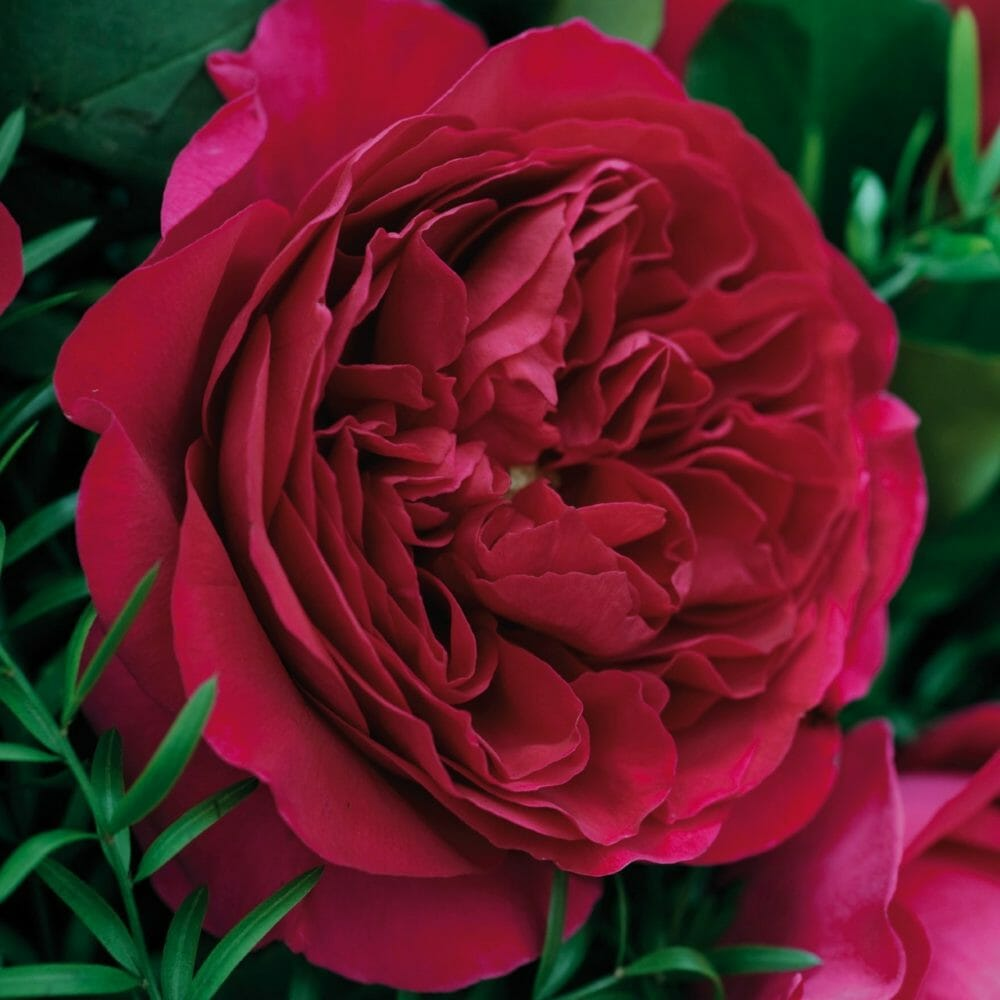 David Austin Wholesale Darcey Roses