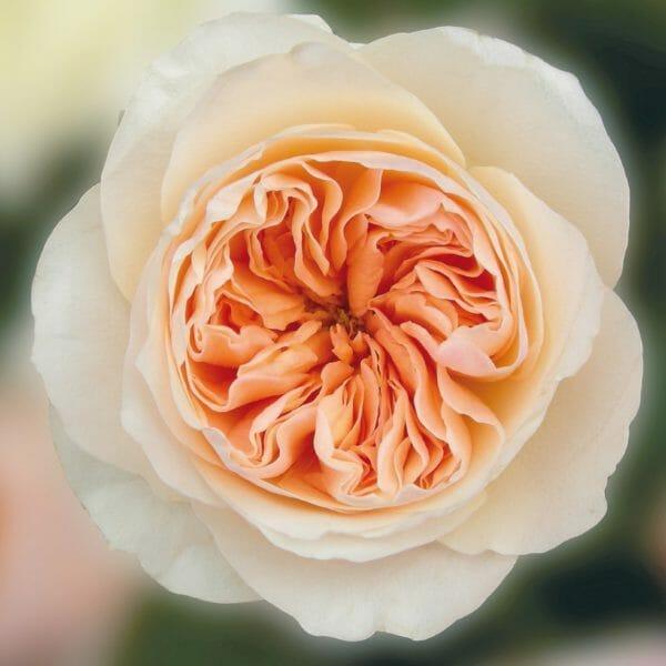 David Austin Wholesale Juliet Roses
