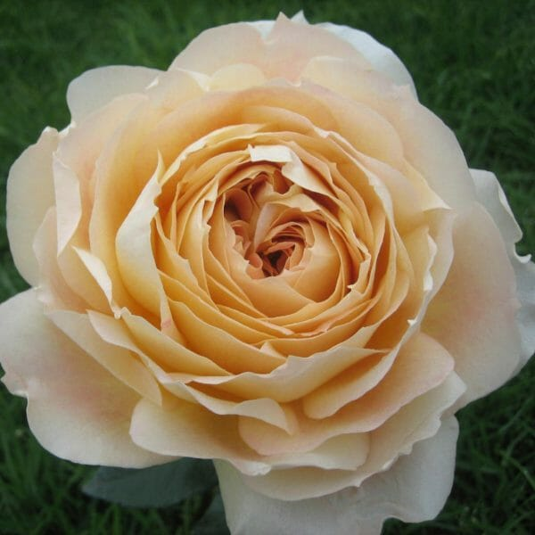 Wholesale Caramel Antike Garden Roses