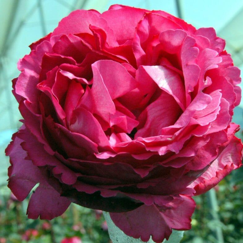 Wholesale Yves Piaget Garden Roses